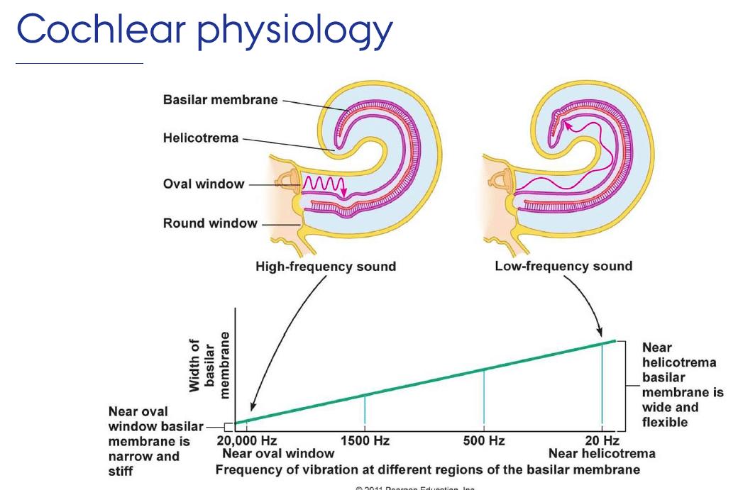 schéma expliquant la tonotopie