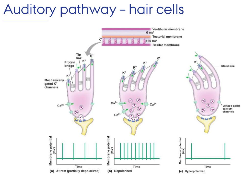 Fonctionnement d'une cellule ciliée